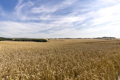 HDR panorama of a wheat field. And dramatic sky Royalty Free Stock Photo