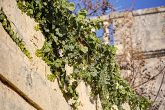 HDR photo of green plants growing on and across a stone wall in the Mdina city, former historic Malta capital Royalty Free Stock Image