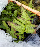 HDR photo of a small fern leaf on the ground with melting ice at the bottom Royalty Free Stock Image