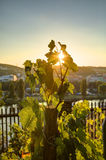 HDR photo of sunset sun shining through the leaves of grapevine at Vysehrad vineyard in Prague, Czech republic Stock Images