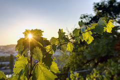 HDR photo of sunset sun shining through the leaves of grapevine at Vysehrad vineyard in Prague, Czech republic Royalty Free Stock Photos