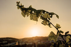 HDR photo of sunset sun shining through the leaves of grapevine at Vysehrad vineyard in Prague, Czech republic Royalty Free Stock Photo