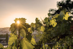 HDR photo of sunset sun shining through the leaves of grapevine at Vysehrad vineyard in Prague, Czech republic Stock Image