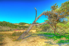 Hdr pine Royalty Free Stock Image