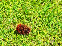 HDR Pinecone laying on the St Augistine grass Royalty Free Stock Photos