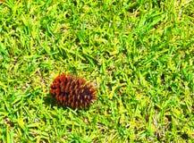 HDR Pinecone s'étendant sur l'herbe de St Augistine Photos libres de droits