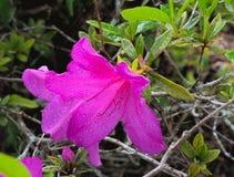 HDR-Pink-Florida-Azalee lizenzfreie stockbilder