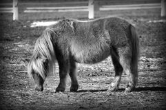 HDR Pony in black and white Royalty Free Stock Images