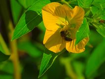 HDR pszczoła na bagna Gelsemium 1 obraz royalty free