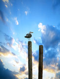 HDR seagull Royalty Free Stock Photo