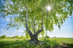 HDR shot of a birch tree. With the sun behind royalty free stock photo