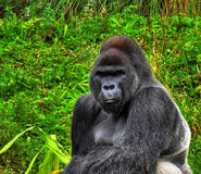 HDR Silverback Gorilla. A HDR close up image of a male silverback gorilla in a sitting pose Royalty Free Stock Image