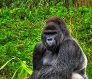 HDR Silverback Gorilla Royalty Free Stock Image