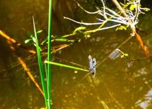 HDR smoka komarnica Zdjęcie Royalty Free