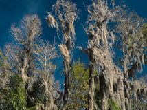 HDR Spanish moss on Cypress trees against a vivid blue sky royalty free stock image