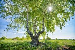 HDR a tiré d'un arbre de bouleau photo libre de droits