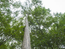 HDR Trees looking up at 90 degrees Royalty Free Stock Images