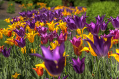 HDR Tulips Royalty Free Stock Photography