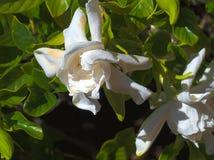 HDR Twee perfecte Gardeneas Stock Afbeeldingen