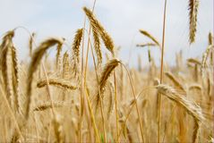 HDR wheat yellow Royalty Free Stock Photos