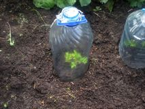 Free He Cuttings Of Roses Are Rooted Under Plastic Bottles. Planting Roses Under A Transparent Shelter. Breeding Roses Cuttings. Royalty Free Stock Photos - 162530288