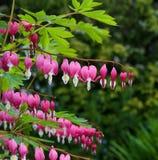 Hea d'amour de fleur de lyre de fleur de défenseur de la veuve et de l'orphelin (Dicentra Spectabils) Photo stock