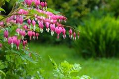 Hea d'amour de fleur de lyre de fleur de défenseur de la veuve et de l'orphelin (Dicentra Spectabils) Photos stock