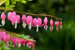 Hea di amore del fiore della lira del fiore del cuore di emorragia (Dicentra Spectabils) immagini stock libere da diritti