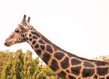 Head& x28 жирафа; Camelopardalis& x29 Giraffa; Стоковая Фотография