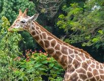 Head& x28 жирафа; Camelopardalis& x29 Giraffa; Стоковые Изображения