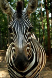 Head On. A zebra looking at the camera Stock Image