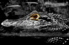 Head above water. A crocodile going for a swim stock photos