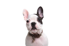 Head of an adorable french puppy dog Stock Photography