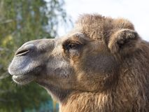 The head of an adult camel in profile. Head of an adult camel in profile close-up against a green tree Stock Photo