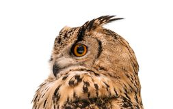 Head of adult Eurasian eagle owl, isolated on white background. The horned owl. Side view royalty free stock photo
