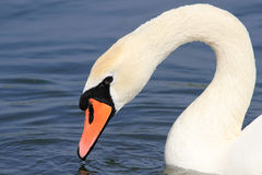 Head of an adult mute swan Stock Photos