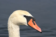 Head of an adult mute swan Stock Photography
