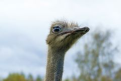 The head of an adult ostrich close-up against a sky background. Royalty Free Stock Image