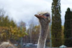 The head of an adult ostrich close-up against a sky background. Royalty Free Stock Photo