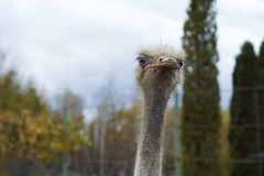 The head of an adult ostrich close-up against a sky background. Stock Photography