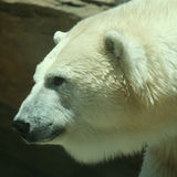 A Head of an Adult Polar Bear Stock Photography