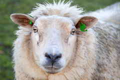 Head of adult sheep in meadow Stock Image