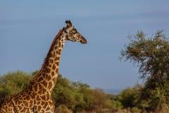 Head of affrican giraffe. Photo taken during the safari in Serengeti national park. Tanzania royalty free stock image
