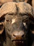 Head of a African Buffalo. The african buffalo is one of the Big Five of South Africa. You can call it also affalo, nyati, mbogo or cape buffalo Stock Photography