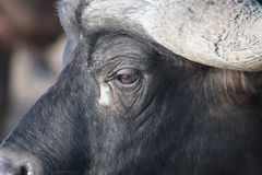The head of the African Buffalo side closeup Royalty Free Stock Images