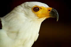 Head of the African Fish Eagle. Landscape of the african fish eagle Stock Photos