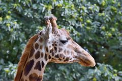 Head of the African giraffe... stock photo