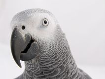 Head of African Grey. The head of an African Grey Parrot Royalty Free Stock Photos
