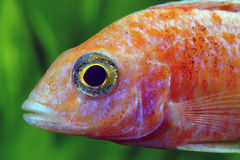 Head of African Malawi  Cichlid Royalty Free Stock Photo