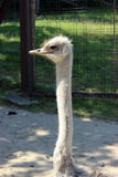 Head of african ostrich female Stock Photos